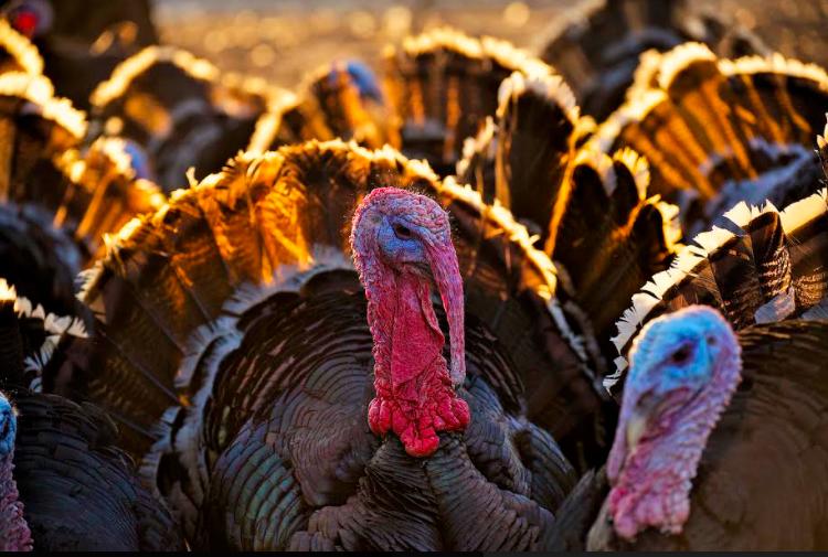 Turkey Toms Outside