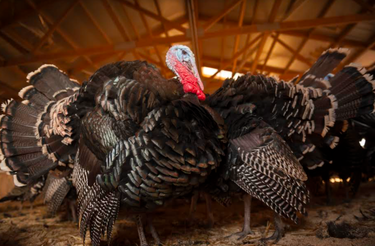Turkey Toms in the Barn